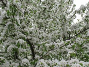 Груша весной